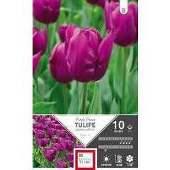 Bulbes de tulipes simples hâtives 'Purple' - x10