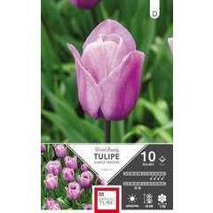 Bulbes de tulipes simples tardives 'Violet Beauty' - x10
