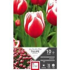 Bulbes de tulipes triomphe - x10