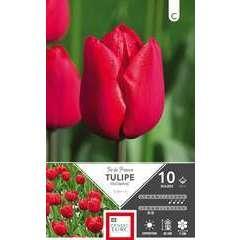 Bulbes de tulipes triomphe 'Ile de France' - x10