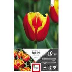 Bulbes de tulipes triomphe 'Jan Seignett' - x10
