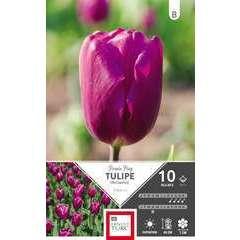 Bulbes de tulipes triomphe 'Purple Flag' - x10