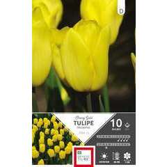 Bulbes de tulipes triomphe 'Strong Gold' - x10