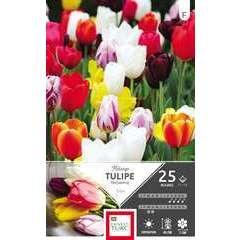 Bulbes de tulipes triomphe variées - x25