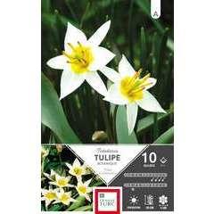 Bulbes de tulipes botaniques 'Turkestanica' - x10
