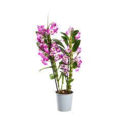 Orchidée Dendrobium nobilé 2 tiges - pot D.12 cm