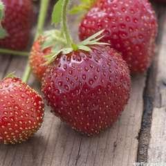 Plants de fraisiers 'Anaïs' bio : barquette 4 plants