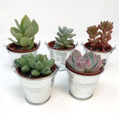 5 mini succulentes + seaux zinc couleur naturelle
