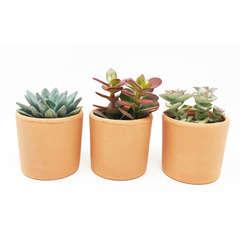 3 mini succulentes + Pots terre cuite