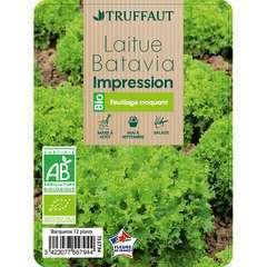 Plants de batavia 'Impression' bio : barquette de 12 plants