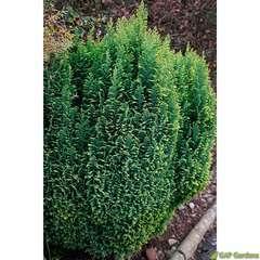Chamaecyparis Lawsoniana Ellwoodii Gold : pot 4L