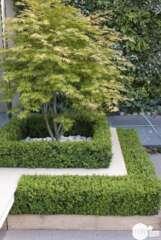 Acer palmatum : pot 4,5 L