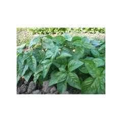 Graine aromatique - Basilic grand vert