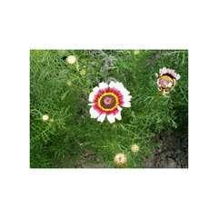 Chrysanthème à carène Rainbow varié