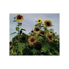 Soleil tournesol multiflore Beauté d'Automne