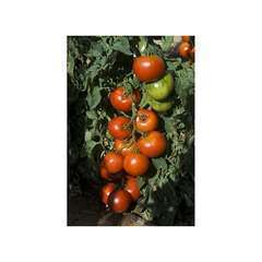 Graines de Tomate Pyros