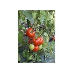 Graines de Tomate Saint Pierre certifié ECOCERT FR-BIO-01