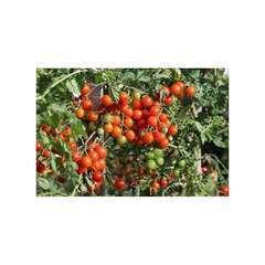 Graines de Tomate Sweet-baby
