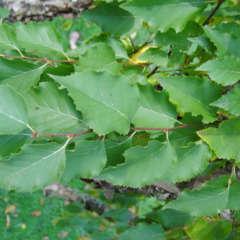 Bouleau pubescent (Betula Pubescens) - 30 à 50 cm