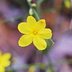 Jasmin d'hiver (jasminus nudiflorum)