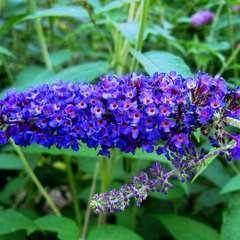Arbre à Papillons - Buddleia Davidii Empire Blue