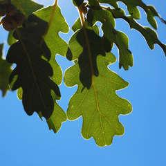 Chêne pubescent (Quercus Pubescens) - 20 à 40 cm