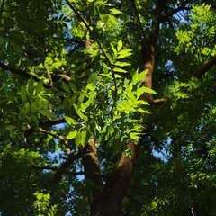 Frêne commun (Fraxinus excelsior) - 20 à 40 cm