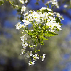 Cerisier Sainte Lucie (Prunus Mahaleb) - 20 à 40 cm