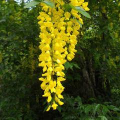 Cytise (Laburnum Anagyroides)