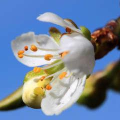 Prunier domestique (Prunus Domestica) - 40 à 60 cm
