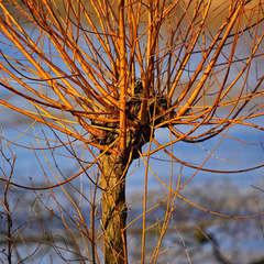 Osier jaune (Salix Alba Vittelina)