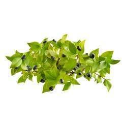 Myrte commun (Myrtus Communis) - 13 à 25 cm