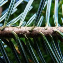 Sapin pectiné (Abies Alba) - 13 à 25 cm