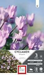 Cyclamen Neapolitanum 13/15 X3