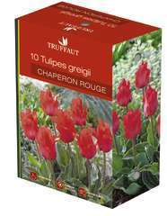 Bulbes de tulipes greigii 'Chaperon Rouge' - x10