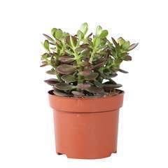 Crassula ovata 'Minor' : pot D12cm