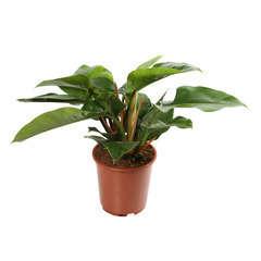 Philodendron 'Impérial Green': D279 cm H80cm