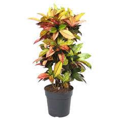 Croton 'Miss Iceton': pot D27 x H100cm