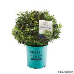 Myrtillier BrazelBerry® 'Berrybux®' : pot de 6,5 litres