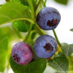 Myrtillier 'Brigitta Blue' bio : pot de 1,5 litres