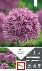 Bulbe d'allium macleanii - x1