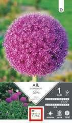Bulbe d'allium haut giganteum - x1