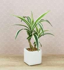 Dracaena artificiel en pot céramique carré blanc mat 29 cm