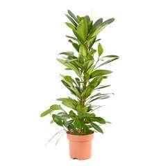 Ficus Scyasthipula : D.21-H100