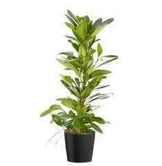 Ficus Scyasthipula CP Ant. : D.21-H100
