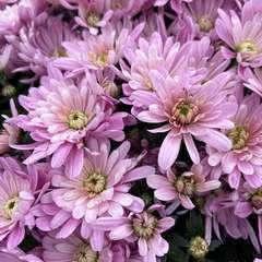 Chrysantheme pompon pot D14cm