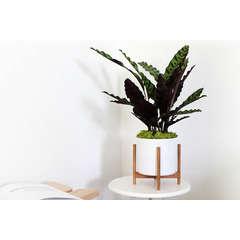 Calathea Insignis Lancifolia avec cache-pot en céramique blanc - 20cm
