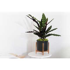 Calathea Insignis Lancifolia avec cache-pot en céramique noir - 20cm