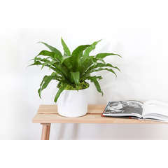 Asplenium Nidus avec cache-pot en céramique blanc - 20cm