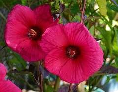 Hibiscus des marais moscheutos Planet® Griotte 'Tangri' C 3 litres